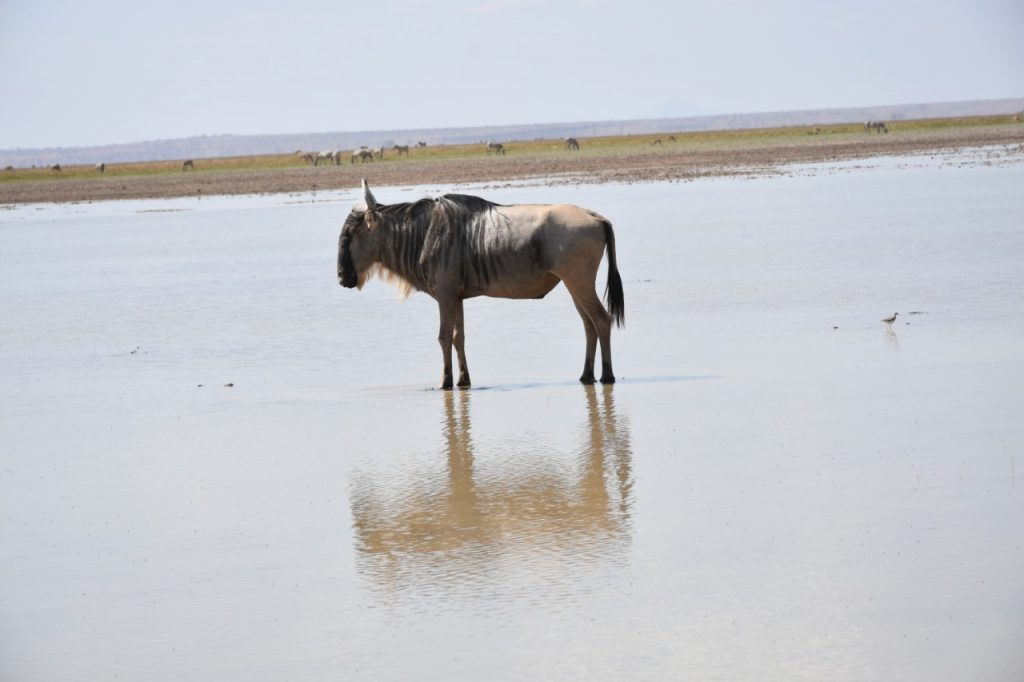 Amboseli National Park   A wildebeest at Lake Amboseli